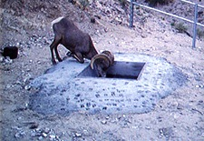 Big Horn Sheep drinking from Nevada Guzzler
