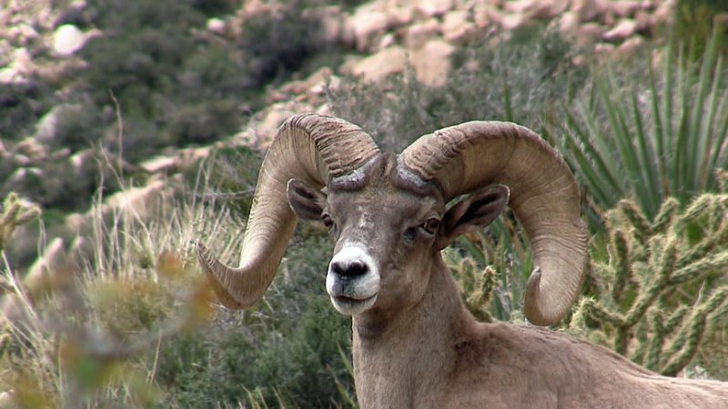 Jim Norris successful Bighorn Sheep hunt in 2016